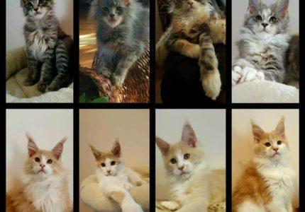Kačių veislynas Emilitacoon Maine Coon Cattery